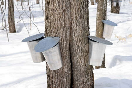 tapping: Metal pails on trees for collecting sap to produce maple syrup.