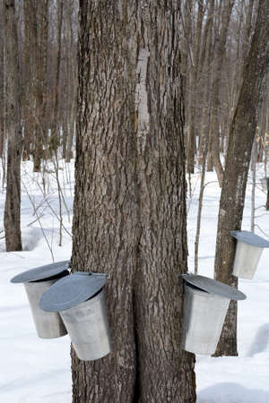 Maple syrup production, springtime. Pails for collecting maple sap. photo