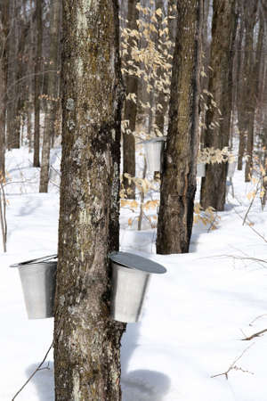 Spring forest during maple syrup season. Buckets for collecting maple sap.