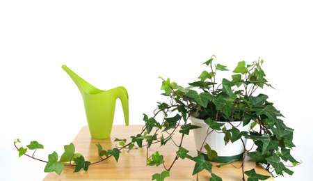 Ivy in pot and green watering can, on white background. photo