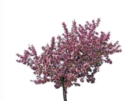 Blooming prunier, isolé sur fond blanc. Banque d'images - 4306372