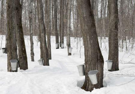 カナダのケベックで従来のメープル シロップ生産。 写真素材 - 4567060