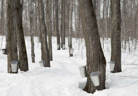 maple trees: Traditional maple syrup production in Quebec, Canada.