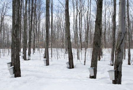 Maple syrup season in Quebec, Canada. Traditional way of collecting maple sap. photo