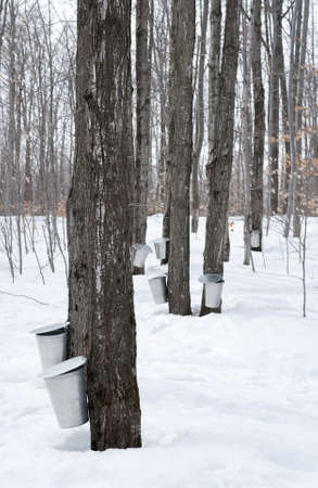 Collecting sap for maple syrup production. Quebec, Canada. photo
