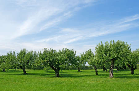 Apple trees on a green lawn under the blue sky.