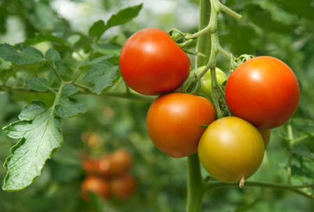 plants growing: Juicy and fresh tomatoes growing in a greenhouse. Stock Photo