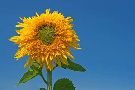 Sunflower over the blue sky with copyspace on the right. Stock Photo - 7715199