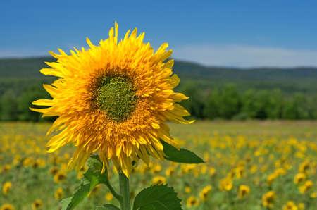 Sonnenblume im Feld Sommer mit Bergen im Hintergrund.