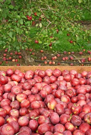 Freshly picked red apples in a wooden box, with apple tree in the background. photo