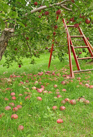 Apple season. Green orchard with wooden ladder to pick up apples.