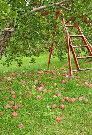 arbol de manzanas: Temporada de Apple. Huerta verde con escalera de madera para recoger las manzanas.