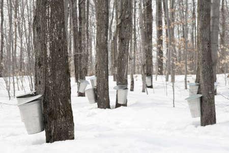 メープル シロップの生産。桶のメープル シロップをカエデの木の樹液を収集するために使用します。