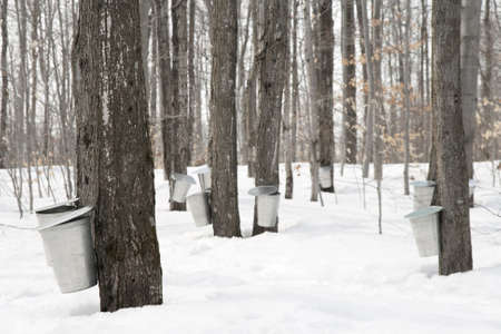 maple trees: Maple syrup production. Pails used to collect sap of maple trees to produce maple syrup.