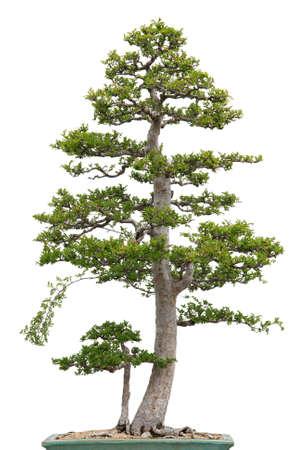 elm: Elegant bonsai tree on white background  Chinese elm