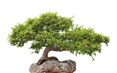 bonsai: Chinese elm, green bonsai tree growing on a rock  Isolated on white  Stock Photo
