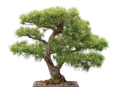 Pino verde árbol de los bonsai en el fondo blanco Foto de archivo - 12844294