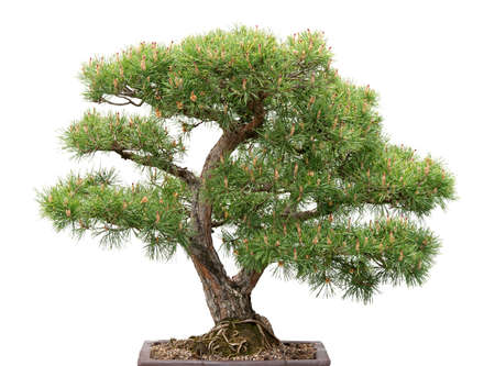 Scots pine  Green bonsai tree on white background  Banco de Imagens