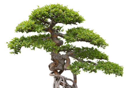 Green bonsai tree on white background  Chinese elm