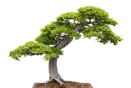 Chinese elm  Green bonsai tree isolated on white background  photo
