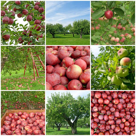 Apple orchards in summer and freshly picked red apples  Stockfoto