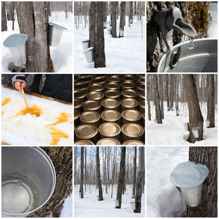 sugar maple: Maple syrup production in Quebec, Canada  Spring forest and buckets for collecting maple sap  Stock Photo