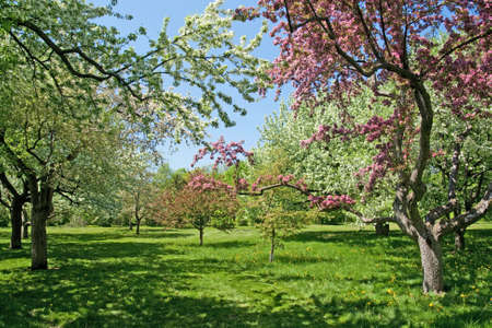 Spring garden  Beautiful blooming trees on a green lawn