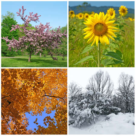 blossoming yellow flower tree: Four seasons  Spring, summer, autumn and winter landscapes  Stock Photo