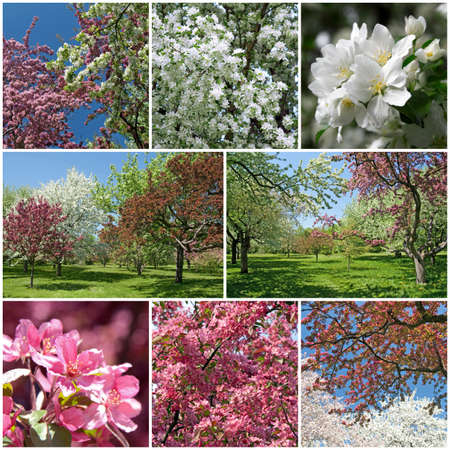 Spring garden  Beautiful blooming trees with white and pink blossom  photo