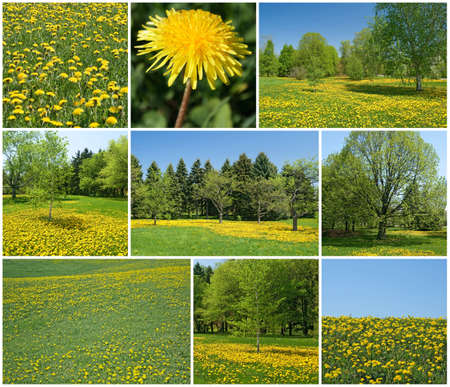Spring landscapes  Fresh green leaves and lawns full of blooming dandelions Stock Photo - 12972880