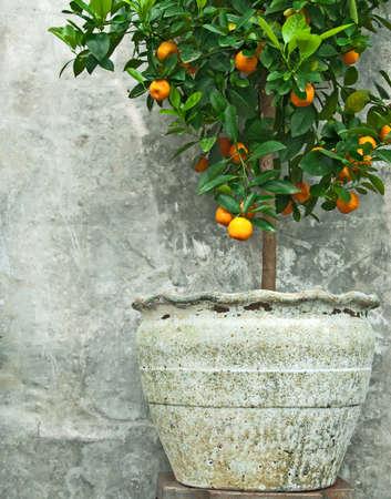 ollas de barro: Árbol de mandarina en olla de barro antiguo, en la pared de piedra de fondo