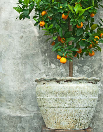 Tangerine tree in old clay pot, on stone wall background