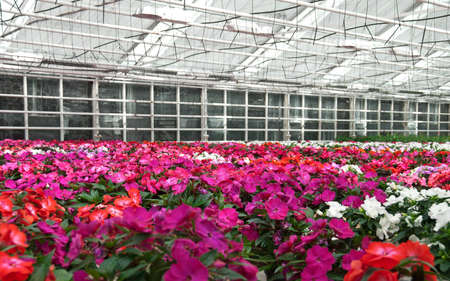 Pink and red flowers blooming in a greenhouse  Flower nursery in Europe  photo