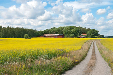 Swedish rural landscape  Country road in yellow meadow