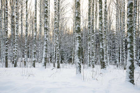 Birch trees covered with snow  Winter forest  写真素材