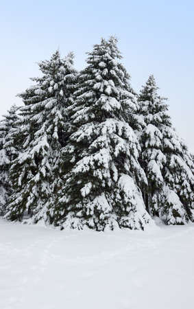 Winter beauty  Field and fir trees covered by snow  Stock Photo - 18205622