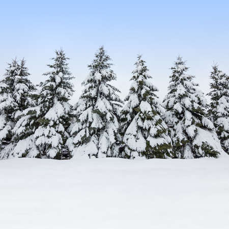 snowscape: Beautiful winter day  Field and fir trees covered by snow  Stock Photo