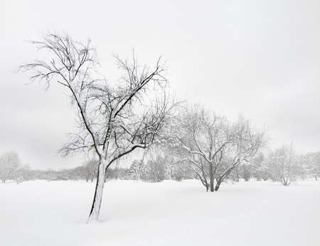 snowscape: Trees covered by snow, in the mist of winter blizzard