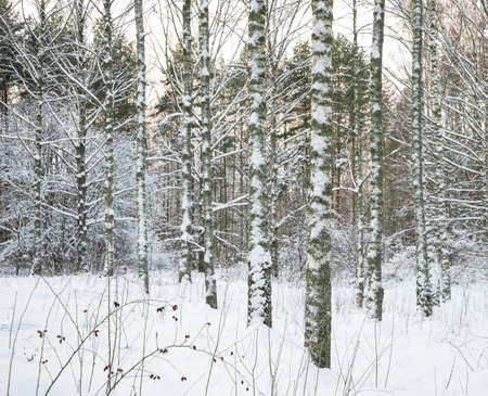 Winter forest  Birch trees covered with snow