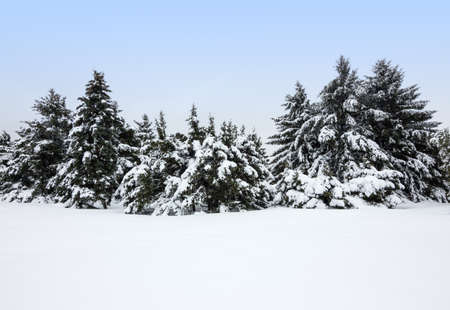 Winter landscape after the snowstorm  Fir trees covered by snow  Stock Photo - 18248696