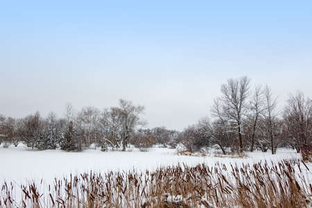 Reed growing by a lake covered by snow  Canadian winter landscape Stock Photo - 18248698