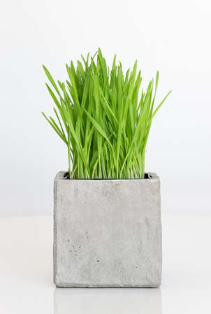 Fresh green wheatgrass growing in concrete pot