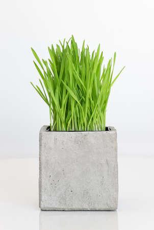 Fresh green wheatgrass growing in concrete pot