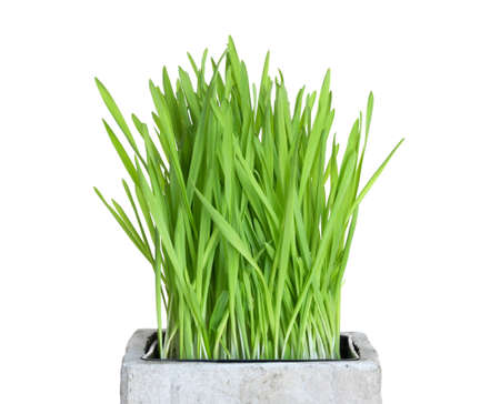 Fresh green wheatgrass growing in square pot, isolated on white