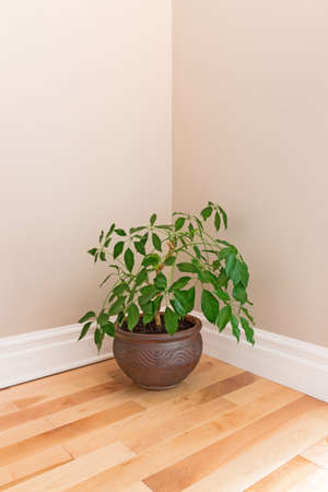 wall angle corner: Green plant in a clay pot decorating the corner of an empty room.