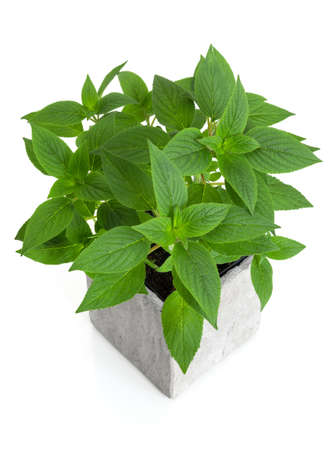 Fresh green mint in a pot, isolated on white background
