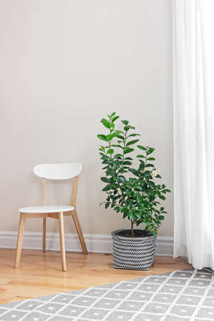 Lemon tree and wooden chair in a bright room.