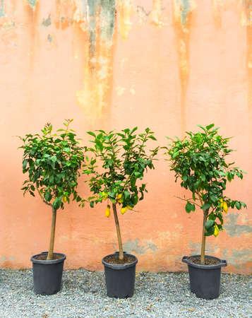 Lemon trees in pots decorating house exterior.
