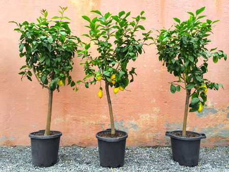 Lemon trees with ripe fruits, decorating house exterior.