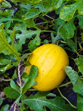 Yellow melon growing in the field. Early autumn, Canada. 版權商用圖片